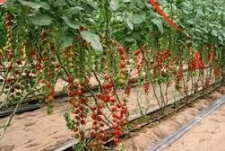 los invernaderos inteligentes en Israel han logrado records como más de tres millones de rosas por hectárea y un promedio de 300 toneladas de tomates por hectárea por estación cuatro veces más que la producción a terreno abierto, y que los afamados tomates cherry fueron inventados por cientificos israelies